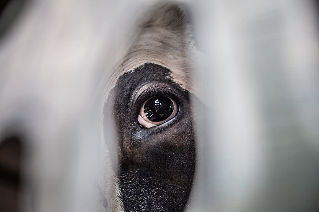 The interior of the transport truck is reflected in this cow's eye. Canada, 2018. Louise Jorgensen / HIDDEN / We Animals Media