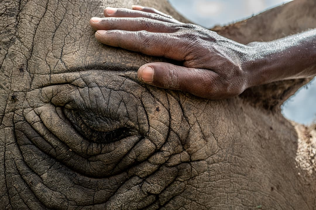 Head northern white rhino caretaker Zacharia Kipkirui, pets Najin on her head while she naps in an open field at Ol Pejeta Conservancy in Central Kenya, 2019. Justin Mott / Kindred Guardians Project / We Animals Media