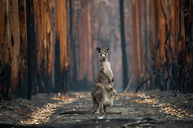 An Eastern grey kangaroo and her joey who survived the forest fires in Mallacoota. Australia, 2020. Jo-Anne McArthur / We Animals Media