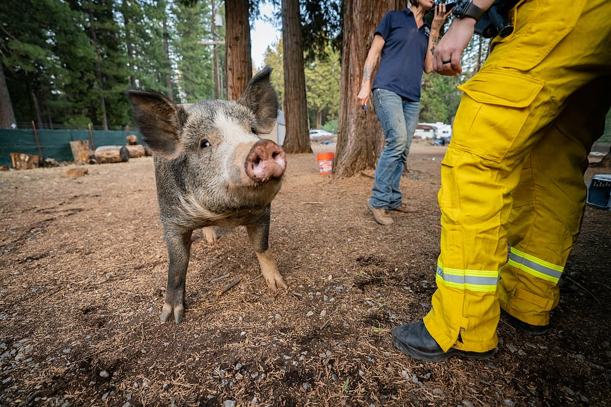 A pig stands close to his rescuers within the active Caldor Fire zone, before they relocate him to safety. California, USA, 2021. Nikki Ritcher / We Animals Media