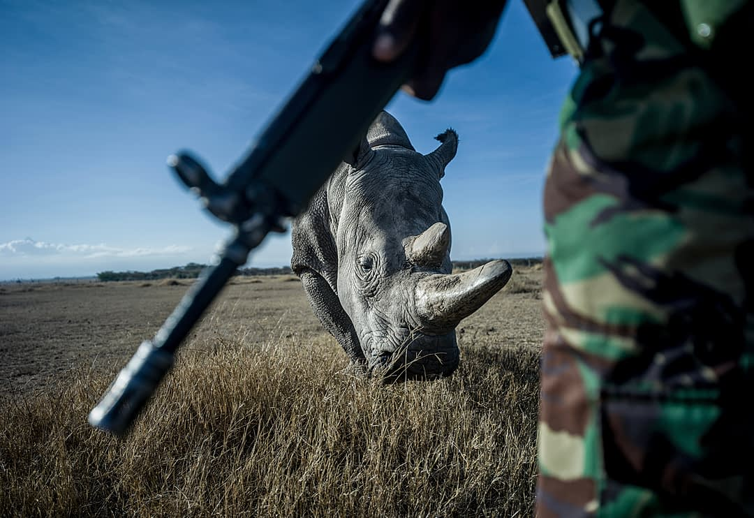 John Mugo, 37, a member of the NPR (National Police Reservists) protects and patrols the grounds of Ol Pejeta Conservancy from poachers with Najin in the background. The rhinos have been poached almost to extinction for their horns to be used in traditional eastern medicines in China, Vietnam, South Korea, and Taiwan and in Yemen for dagger handles. Kenya, 2019. Justin Mott / Kindred Guardians Project / We Animals Media