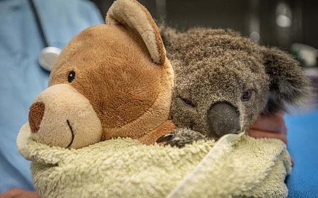 Koalas feel much more secure when they can hold on to something tightly. When koalas need to be examined at Southern Cross Wildlife Care, they give them a teddy bear to cling to. This koala was orphaned in the bushfires and is recovering from wounds. Australia, 2020. Jo-Anne McArthur / We Animals Media