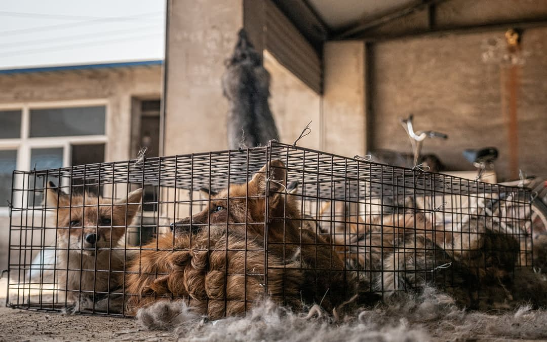 5,000 Foxes: The Transaction of a Mercy Release Rescue