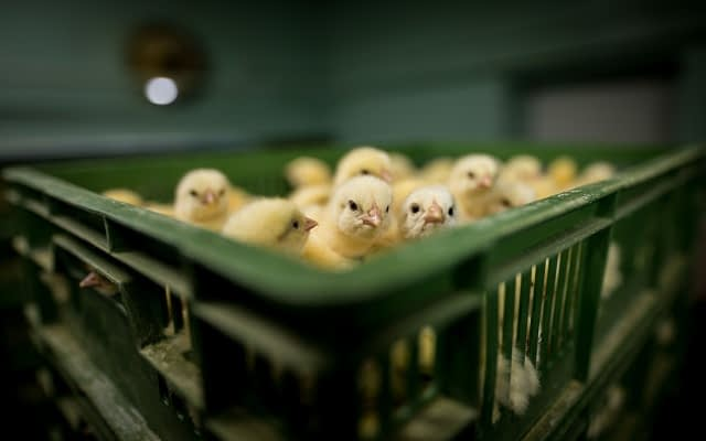 Day-old chicks are packed into crates at an industrial hatchery. During transport to farms, they are often unprotected from heat and cold. Poland, 2019. Konrad Lozinski / HIDDEN / We Animals Media