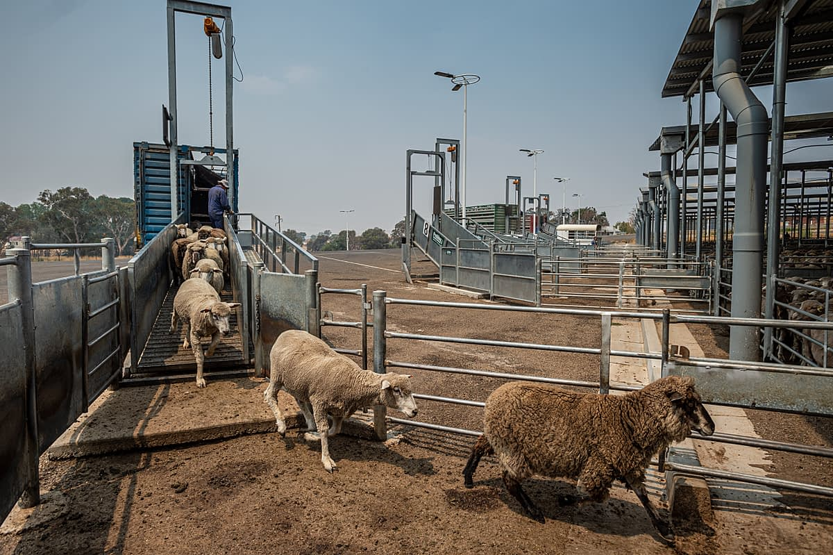 At this sale yard in New South Wales sheep sales are much higher than usual because of the drought and fires. Australia, 2020. Jo-Anne McArthur / We Animals Media