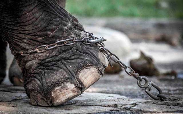 Elephant chained up in Bangkok, Thailand. Image by Aaron Gekoski