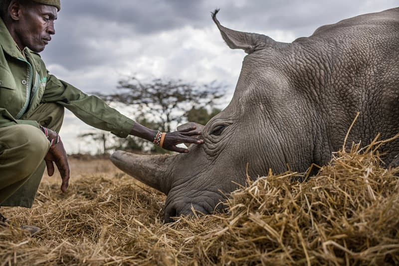 Peter Esegon, one of the rhino caretakers, watches over Najin as she naps in her their holding area at Ol Pejeta Conservancy in Central Kenya. The rhinos are also protected around the clock by armed guardians. Kenya, 2019. Justin Mott / Kindred Guardians Project / We Animals Media