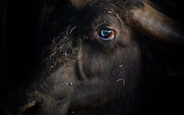 Buffalo inside a buffalo mozzarella farm, southern Italy, 2018. Selene Magnolia / Wildlight / Four Paws