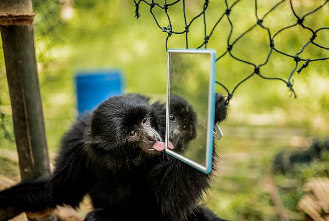 Tom plays with a mirror near her newly constructed home in the jungle. Malaysia, 2019. Bam and her team of volunteers look on as her infant gibbons play in the jungle at an undisclosed location in Malaysia, 2019. Justin Mott / Kindred Guardians Project / We Animals Media
