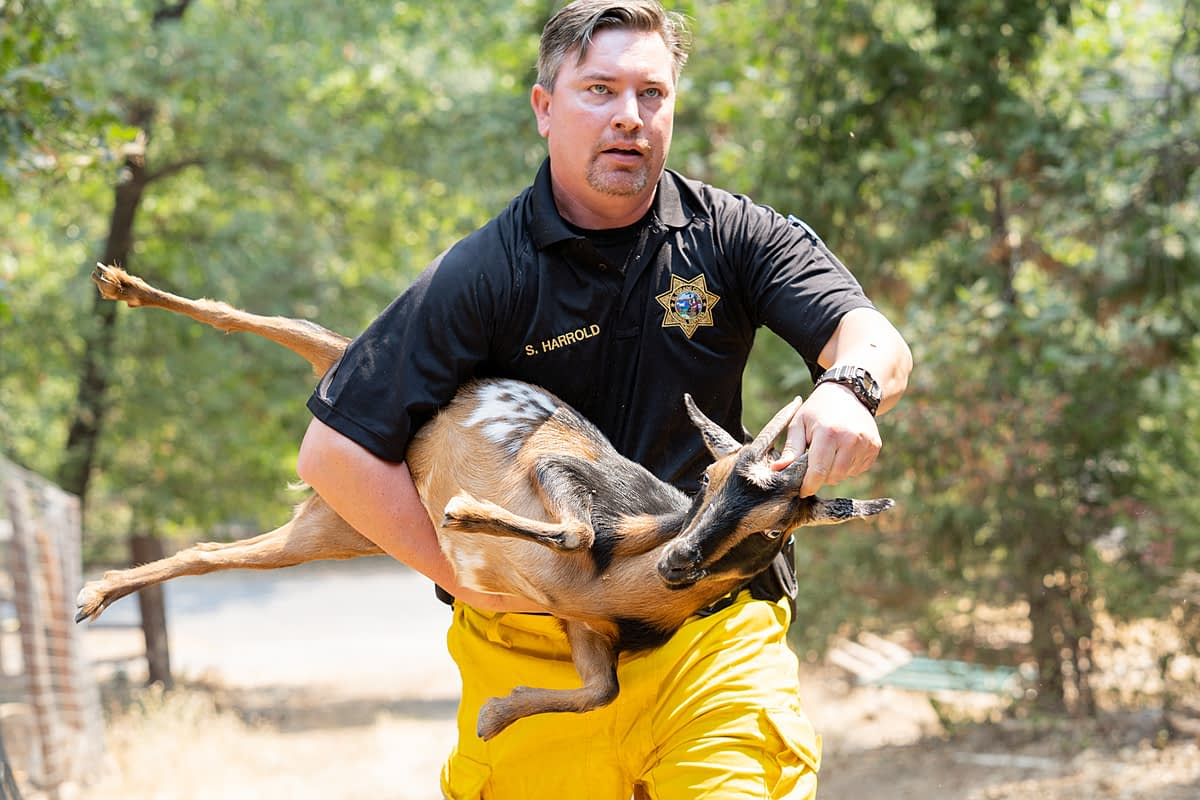 Animal Control Officer Shawn Harrold, of El Dorado County, where the Caldor Fire began, safely rescues a goat in an active fire zone and evacuated area near Grizzly Flats. California, USA, 2021. Nikki Ritcher / We Animals Media