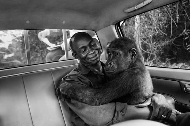 Pikin and Appolinaire. Pikin was being transported from the vet clinic to the new gorilla enclosure, but woke up early from the sedation. Cameroon, 2009. Jo-Anne McArthur / We Animals Media