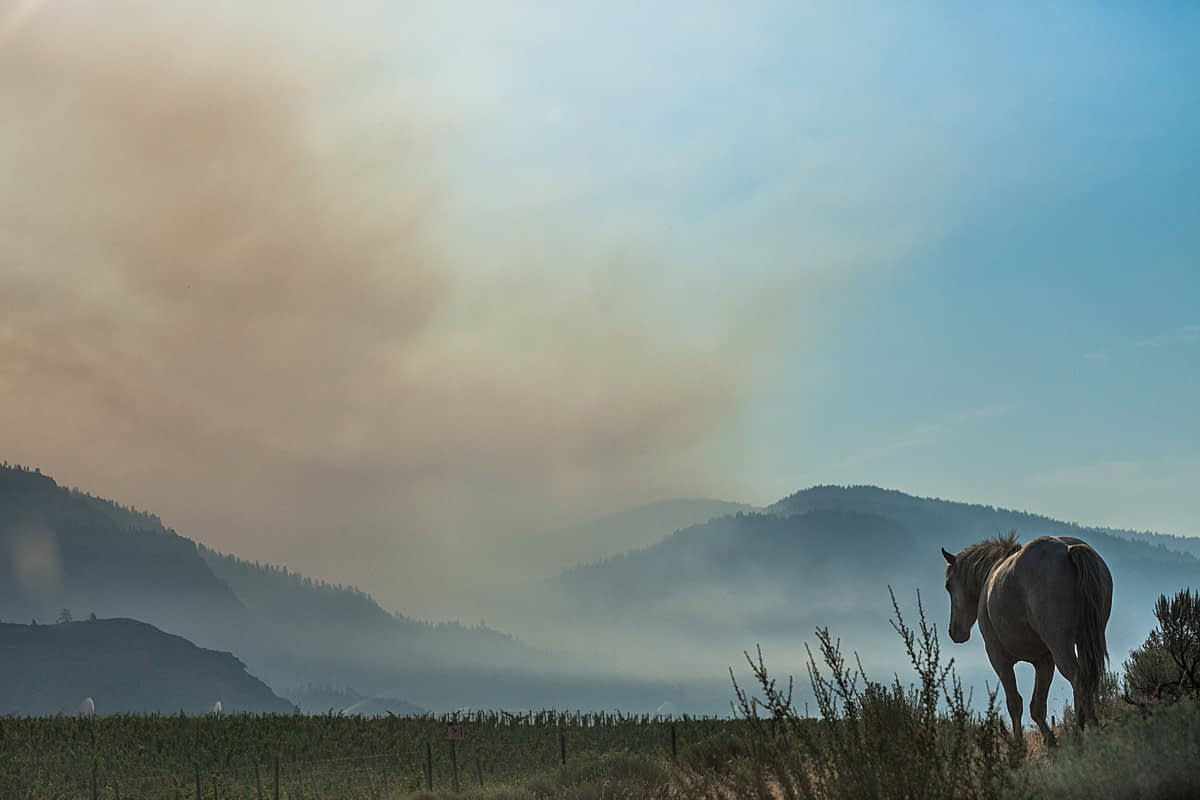 A lone wild horse outside Osoyoos BC. The Nk'Mip Creek wild fire burns in the background. BC, Canada, 2021. We Animals Media