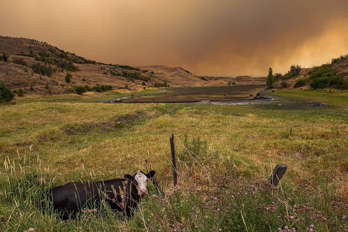 Cows grazing near Goose Lake in Vernon BC. Thick smoke from the White Rock Lake wildfire billows in the background. BC, Canada, 2021. We Animals Media